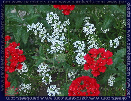 Lobularia maritima triphylla 'Peters Snow Princess'