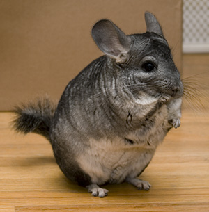 Vir: http://www.gopetsamerica.com/small-animals/chinchilla/chinchilla_pet.aspx
