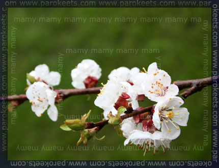 Cvet marelice, Apricot Blossom