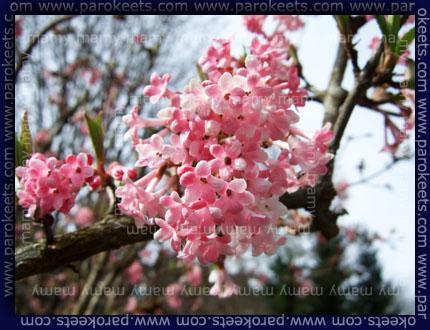 Dehteca brogovita, Viburnum Fragrans