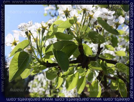 Hruska, pearson, flower