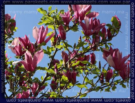 Magnolija- magnolia