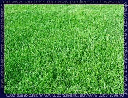 Trata, lawn
