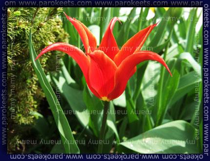 Tulipan / Tulipa