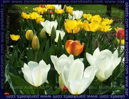 Tulipani/Tulips, spring