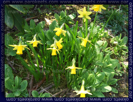 Narcise, Daffodils