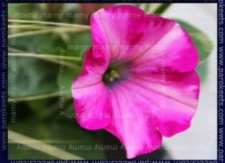 Petunija, Petunia