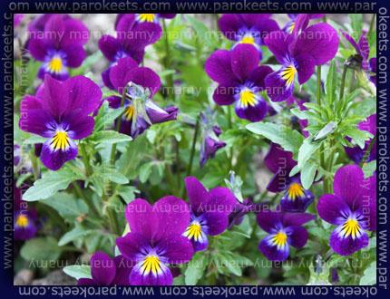 Vrtna vijolica, viola