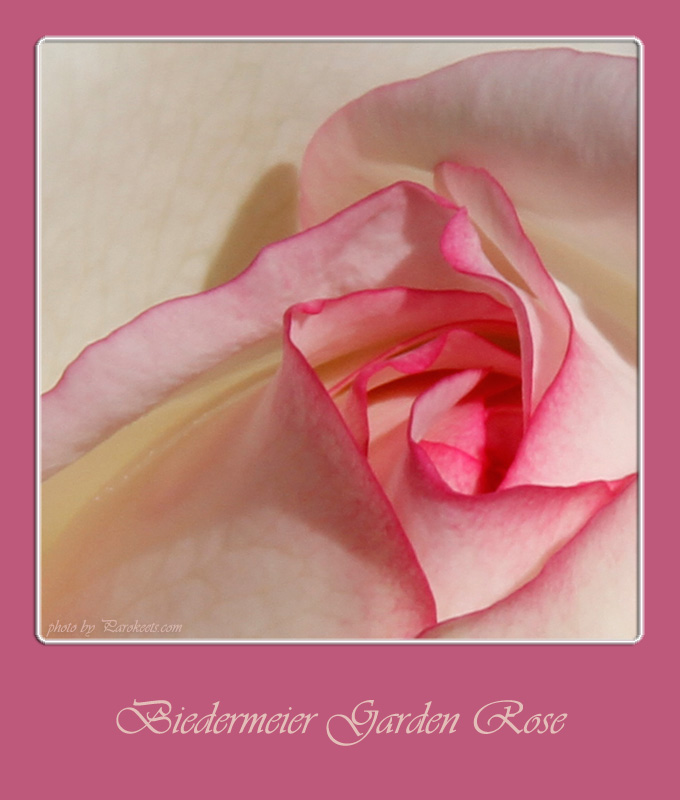 Flower: Biedermeier Garden Rose