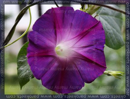 Slak/Morning Glory, (Ipomoea Learii Grandiflora)