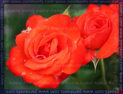 Vrtnica / Rose
