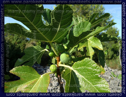 Smokve, Figs