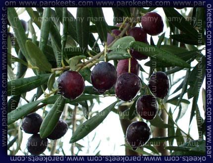 Olive_Olives