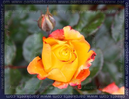 Vrtnica_Rose