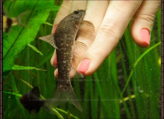 Fish manicure with Garra Rufa fish