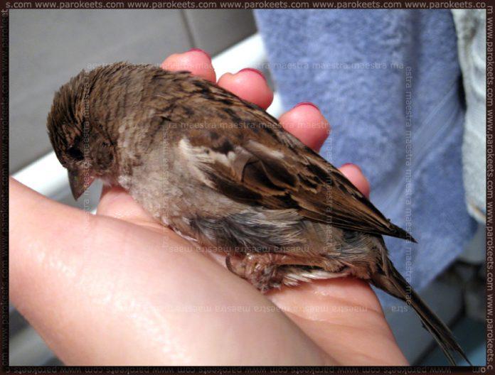 Sparrow's rescue