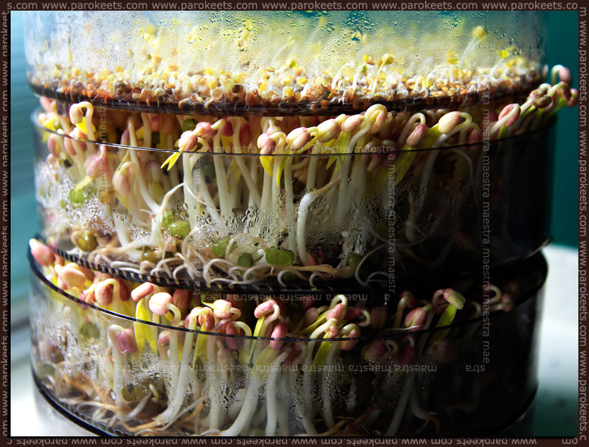 Maestra in the kitchen: Home-grown Bean Sprouts