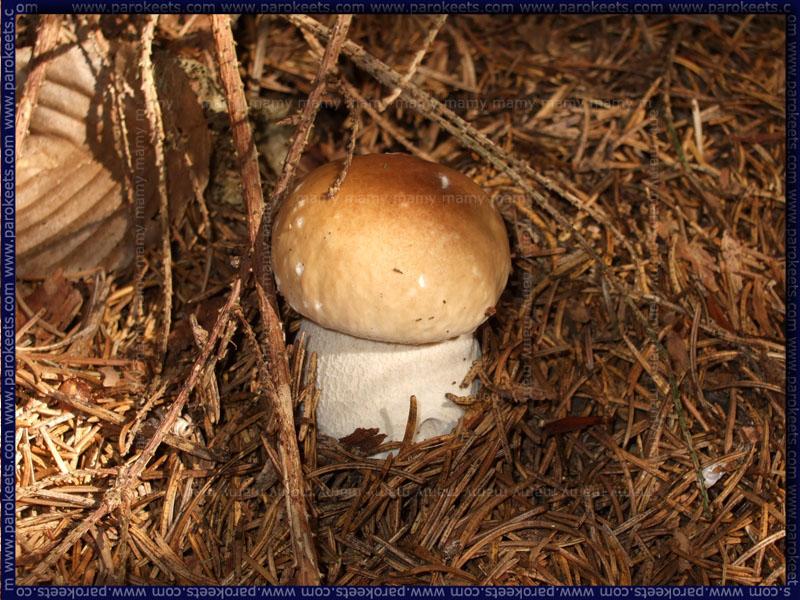 Jurček_Mushrooms
